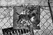 Beware of the dog rusty sign and barbed wire fence. Black and white. poster