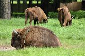 Bialowieza - national park and UNESCO World Heritage Site in Poland. European bison (Bison bonasus) also known as wisent. poster