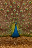 Picture of a beautiful male peacock with colorful tail on display. poster
