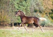 The warmblood foal  of silvery-black color runs on a meadow poster