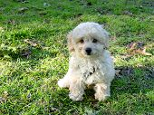 photo is of a dog,cuddly  white minature poodle sitting in green grass with the sun shinning on him. poster