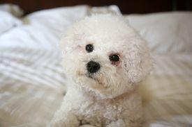 Bichon Frise Dog. Purebred Bichon Frise Dog. A sweet white puppy dog on a white bed sheet. Bichons are mans best friend.