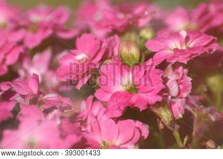 Kalanchoe Blossfeldiana Pink Flowers. Small Pink Flowers Of A Succulent Plant.
