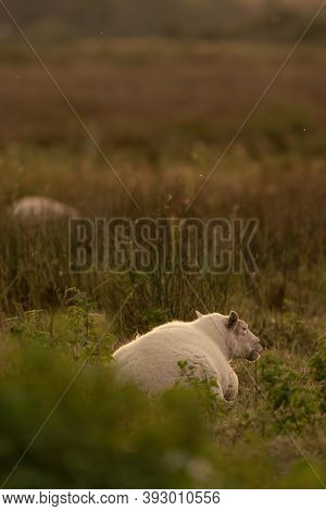 Dutch Sheep Eat Fresh Green Grass During Sunrise On The Field In Autumn With Sun In The Back