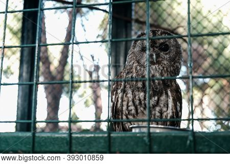 Owl Sleeping During Day With One Eye Closed. Wild Animal Held Captive, Peeking At Tourists In A Zoo