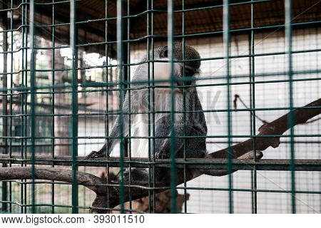 Sad Monkey Held Captive In A Cage In A Zoological Garden. Looking At Tourists And Visitors With Sad