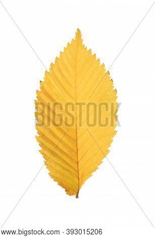 Dry Leaf Of Elm Tree Isolated On White. Autumn Season