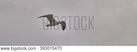 Seagull Flies Against The Background Of The Cloudy Sky. Lone Seagull In Bad Weather In Flight.