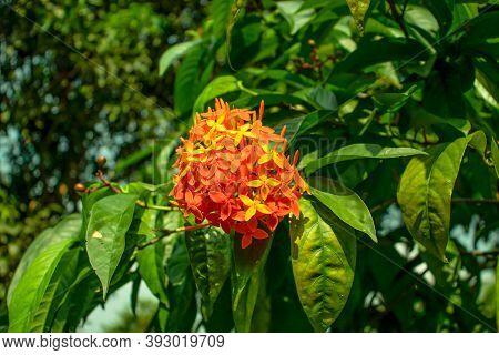 Yellow And Orange Rangoon Flower Or Ixora Or Jungle Geranium