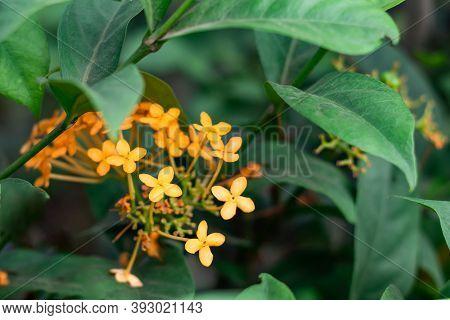 Yellow Rangoon Flower Or Ixora Or Jungle Geranium & Group Of Flowers
