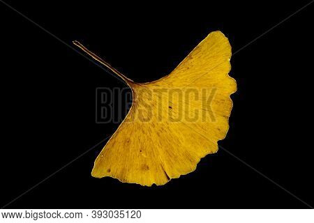 A Single Yellow Leaf Of A Gingko Tree On A Black Background. Maidenhair Tree. Gingko Biloba. Ginkgop