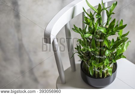 Green Bamboo Plant In A Pot On A White Chair. Small Plants In A Vase To Decorate The House And Offic