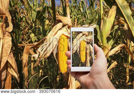 Agronomist Is Taking A Photo Of The Corn Field And Examining Crops. Agricultural Business Concept.