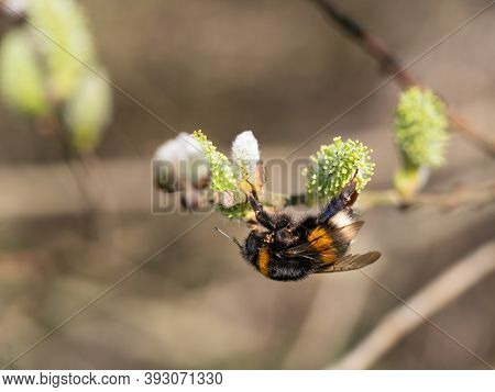Bumble-bee, Insect Feeding On Catkin In Springtime, Tree Blooming In Spring, Collect Nectar