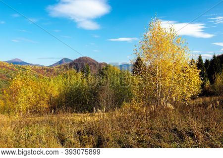 Birch Forest On The Hill. Beautiful Autumn Landscape Of Carpathian Mountains. Bright And Vivid Scene