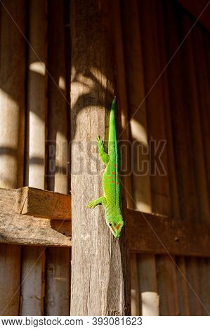 Phelsuma Day Geckos (phelsuma Madagascariensis)in People Habitat. Island Nosy Be, Madagascar Wildlif
