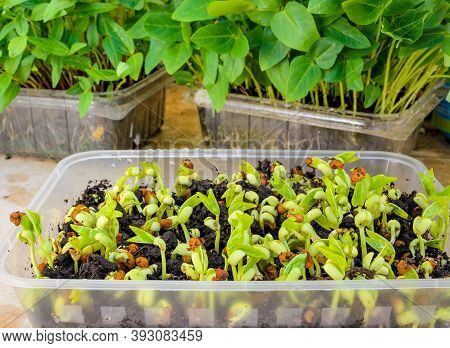 Homegrown Micro Geens From Peas In A Plastic Container