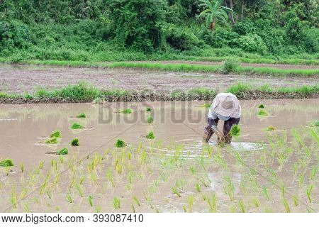 Young Woman Farmer Bends Down For Is Rice Planting On The Paddy Rice Farmland. In Northern, Thailand