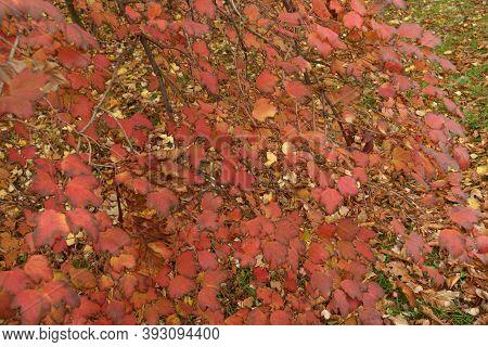 Bright Red And Purple Foliage Of Viburnum Opulus In October