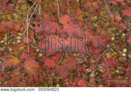 Close View Of Red And Purple Leaves Of Viburnum Opulus In October