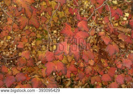 Colorful Autumnal Foliage Of Viburnum Opulus In October