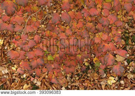Red And Purple Foliage Of Viburnum Opulus In October