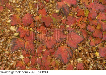 Vibrant Red And Purple Foliage Of Viburnum Opulus In October