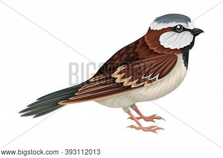 Sparrow As Warm-blooded Vertebrates Or Aves Vector Illustration