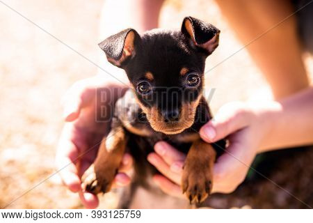 Cute Puppy Of The Pinscher Breed, Happy On A Sunny Day, In The Hands Of A Child. Dog Adoption Concep