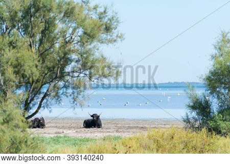Bulls At Rest Within The Camargue Region Of France During A Sunny Day
