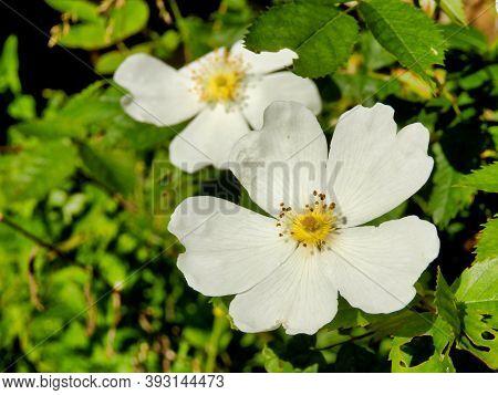 White Dog Rose,(rosa Canina). A Vigorous Climbing Wild Rose, Known In Shakespeares Time As Eglantine