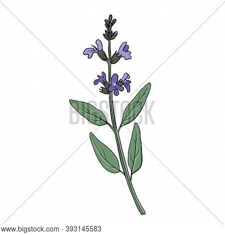 Vector Drawing Sage Plant, Salvia Officinalis, Hand Drawn Illustration Of Medicinal Plant