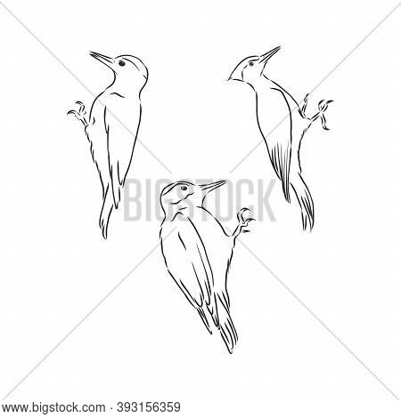 Woodpecker On Old Tree Branch In Vintage Engraving Style. Hand Drawn Vector Retro Illustration. Temp