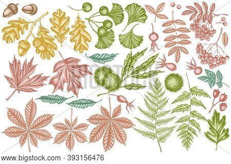 Vector Set Of Hand Drawn Pastel Fern, Dog Rose, Rowan, Ginkgo, Maple, Oak, Horse Chestnut, Chestnut,