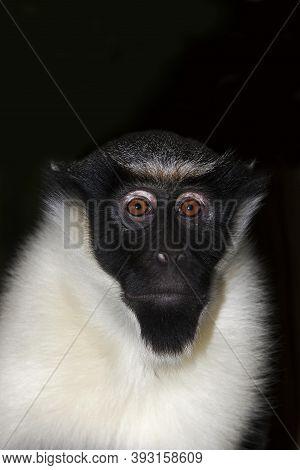Diana Monkey Cercopithecus Diana, Portrait Of Female