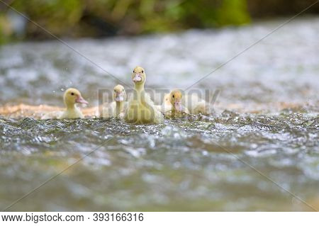 Happy Yellow Duck Family With Duckling In Lake. ,symbolic Of Peaceful Animal Family Portrait Group T