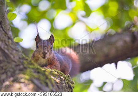 Squirrel On Branch Of Tree. A Close Up