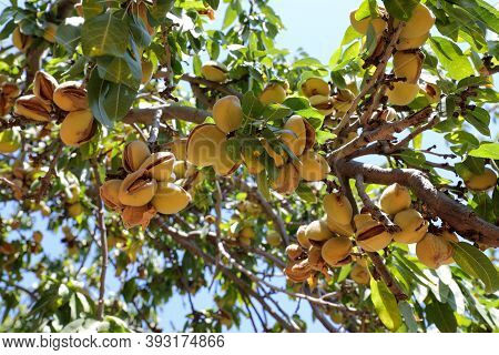 Almonds Nuts. Green Almonds On The Tree Ready For Harvest.