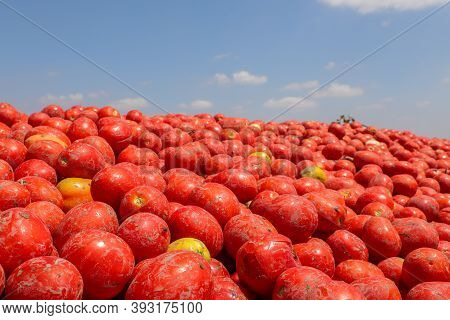 Fresh Harvested Tomatoes And Blue Sky Background.ripe Tomatoes