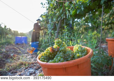 Picking Green Wine Grapes During Harvest.grapes In The Vineyard.