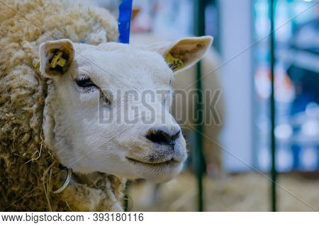 Portrait Of Funny Cute Texel Sheep At Agricultural Animal Exhibition, Small Cattle Trade Show - Clos