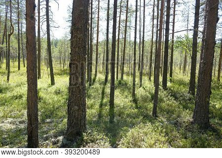 Very Deep And Haunted Coniferous Forest With Bilberry Shrub