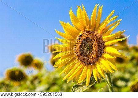 Sunflower With Bee On Sunflower Field Landscape. Sunflower Field View. Sunflower And Bee