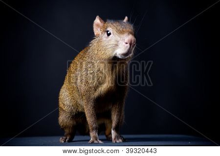 Central American agouti (Dasyprocta punctata) in studio of a black background poster