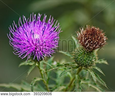 A Purple Bull Thistle Stands In Stark Contrast Next To A Spent Flower.