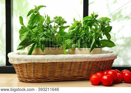 Green Basil Plants And Tomatoes On Window Sill Indoors