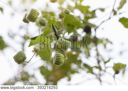 Indian Mallow, Chinese Bell Flower Or Country Mallow (abutilon Indicum) On Tree In The Garden Is A T