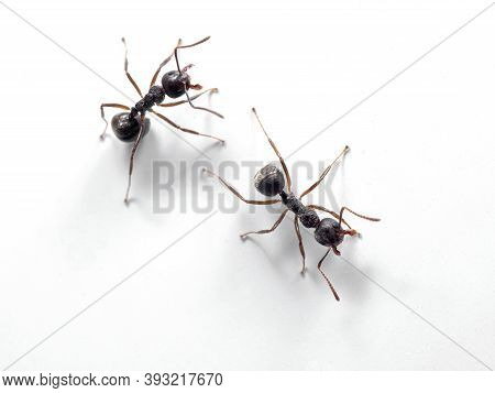 Macro Photography Of Two Black Ants On White Wall