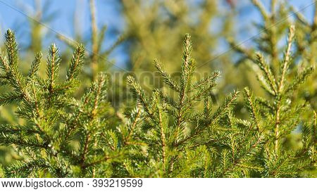 Evergreen Branches Of Christmas Tree In Pine Forest. Close-up View Of Fir Natural Fir Branches Ready