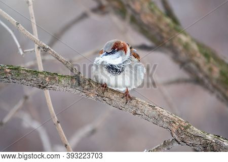The House Sparrow, Lat. Passer Domesticus, Sitting On A Branch Without Leaves With Feathers In Its B